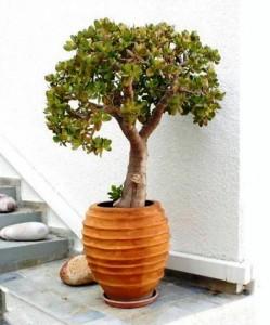 z11753052Q,Grubosz-jajowaty-inaczej-drzewko-szczescia--Lubi-s